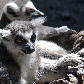 Lemur Family by David Resnikoff
