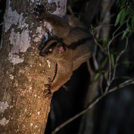 Lemur Nocturne by Alex Lapidus
