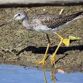 Lesser Yellowlegs By the Water by Marlin and Laura Hum