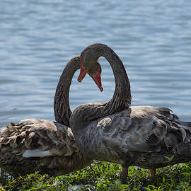 Light mottled grey colour two swans by Zina Stromberg
