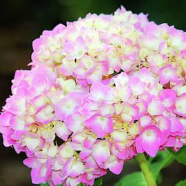 Light Pink Hydrangea by Cynthia Guinn