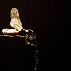 Like a Fairy - Back-lit dragonfly by Roeselien Raimond