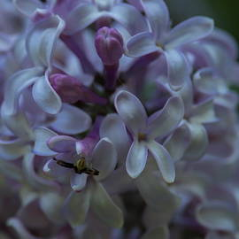 Lilacs And Crab Spider by Dale Kauzlaric