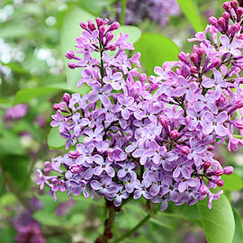 Lilacs in May by Rosalie Hummel