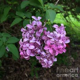 Lilacs - The Glory of Spring by Miriam Danar