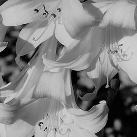 Lilies in Black and White by Loretta S
