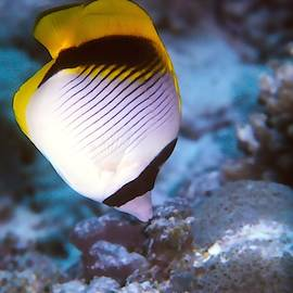 Lined Butterflyfish by Christina Ford