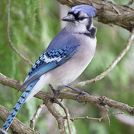 Listening to the Blues - Blue Jay - Cyanocitta cristata by Spencer Bush