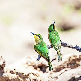 Scott Pellegrin - Little Bee-Eaters