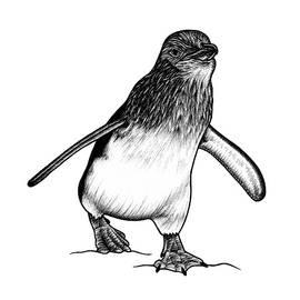 Little blue fairy penguin by Loren Dowding