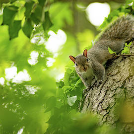 Little Eastern Gray Squirrel