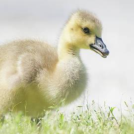 Little Gosling by Mary Ann Artz