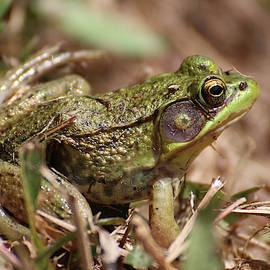 Little Green Frog by William Selander