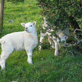 Little Lambs by Cathy P Jones