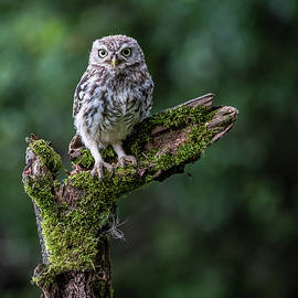 Little Owl Perching #4 by Framing Places
