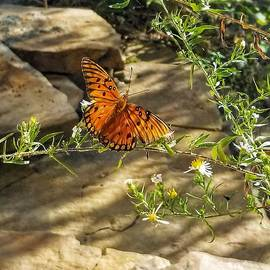 Little River Canyon Butterfly  by Rachel Hannah