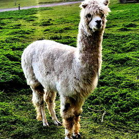 Llama Ecuador by Neal Alicakos
