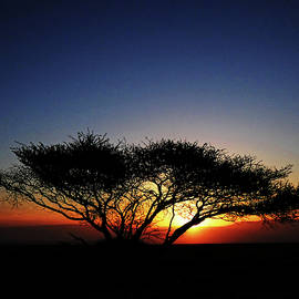 Lone Acacia Tree at Sunrise