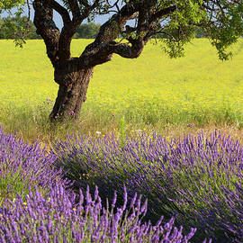 Lone Tree In Lavender And Mustard Fields by Brian Jannsen