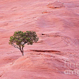 Lone Tree on the Red Rocks by Debby Pueschel