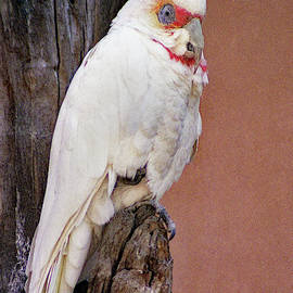 Long-billed Corella by Jerry Griffin