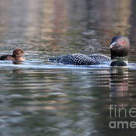 Loon and Chick at Dawn by Sandra Huston