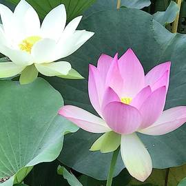Lotus flowers 2018 by Sofia Metal Queen