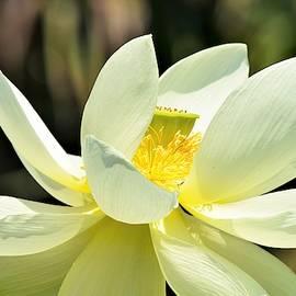 Mary Ann Artz - Lotus