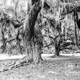 Louisiana Southern Live Oaks - BW by Scott Pellegrin