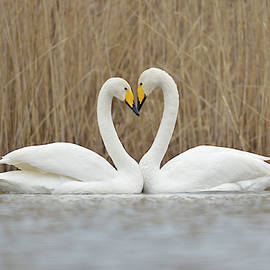 Wonderfulearth - Love Heart... Whooper Swans