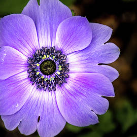 Lovely Anemone by Don Johnson