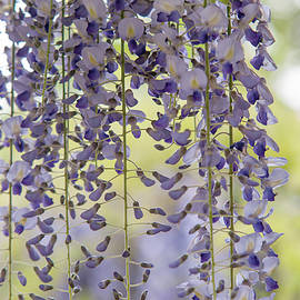 Lovely Curtain of Purple Wisteria Bloom by Jenny Rainbow