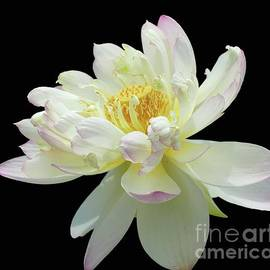Lovely Lotus by Cindy Manero