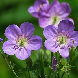 Lovely Wild Geranium  by Lori Frisch