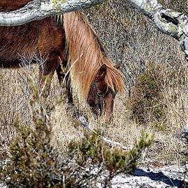 Lunchtime for Assateague