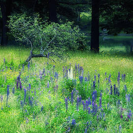 Lupines in the Evening  by Jane Selverstone