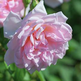 Luxuriant Pink Rose  by Rusalka Koroleva