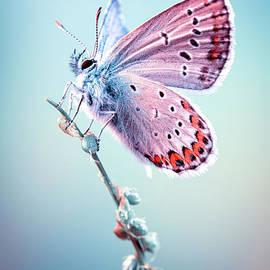 Lycaenidae Butterfly by Marco Fischer