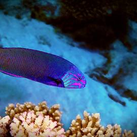 Lyretail Wrasse by Christina Ford