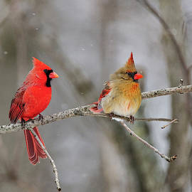 Ma And Pa Cardinal by John Radosevich