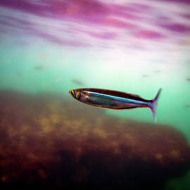 Mackerel In The Cove by Anthony Jones