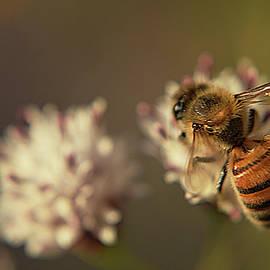 Macro Bee by Chance Kafka
