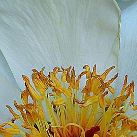 Macro Flower Series - Yellow on White by Arlane Crump