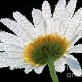Macro of wet daisy flower on black by Gregory DUBUS