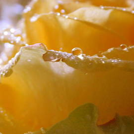 Macro Yellow Rose by Arlane Crump