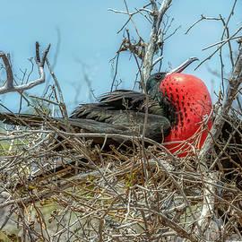 Magnificent Frigate Bird by Donald Lanham