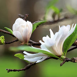 Magnolia Flowers by Morey Gers
