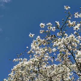 Magnolia Treetop by Weston Westmoreland