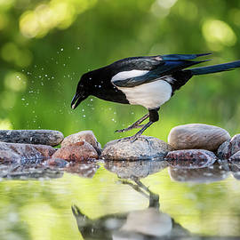 Magpie in profile jumping on the rocks at the pond by Torbjorn Swenelius