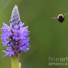 Making a Bee Line by Marty Fancy